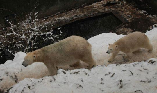 Štědrodopolední komentovaná krmení v dárkovém balení - Medvěd lední