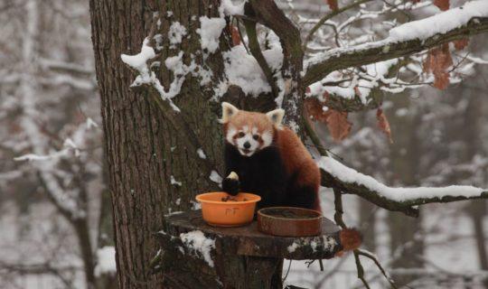 Štědrodopolední komentovaná krmení v dárkovém balení - Panda červená