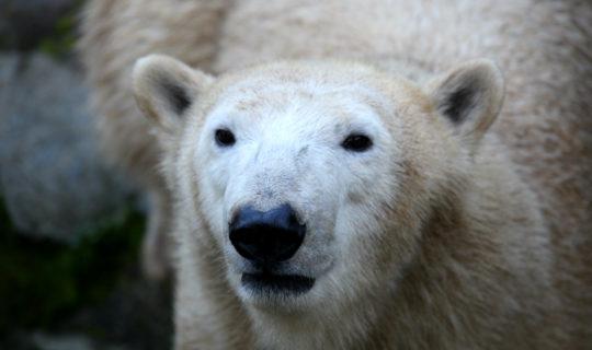 Mezinárodní den ledních medvědů v Zoo Brno