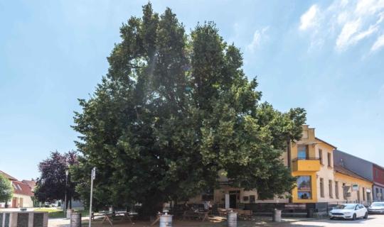 Lípa u stavu, nejstarší brněnský strom, autorka Jiřina Rittichová